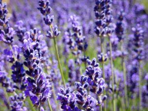 Lavender IB