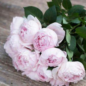 Garden Rose Peony Pink