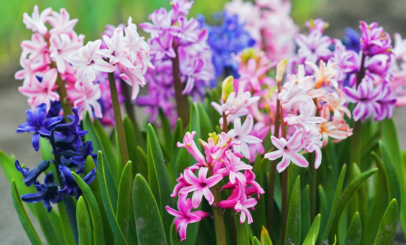 hyacinth IB